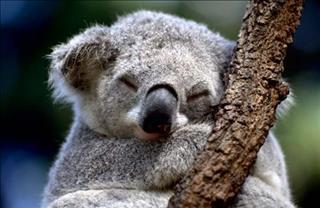 19/315/коала-спит-middle.jpg