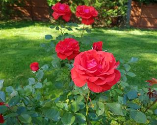 125/3944/roses-middle.jpg